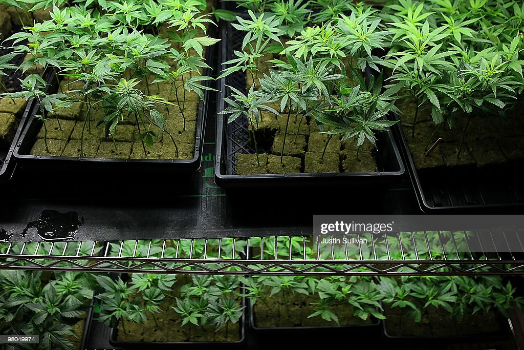 Marijuana plants sit on a rack at the Berkeley Patients Group March 25, 2010 in Berkeley, California. California Secretary of State Debra Bowen certified a ballot initiative late yesterday to legalize the possession and sale of marijuana in the State of California after proponents of the measure submitted over 690,000 signatures. The measure will appear on the November 2 general election ballot.