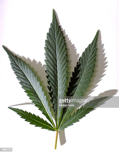 A marijuana/cannabis leaf is shown February 15 2002 in the Maripharma Laboratory in Rotterdam Netherlands The Dutch government is the first in the...
