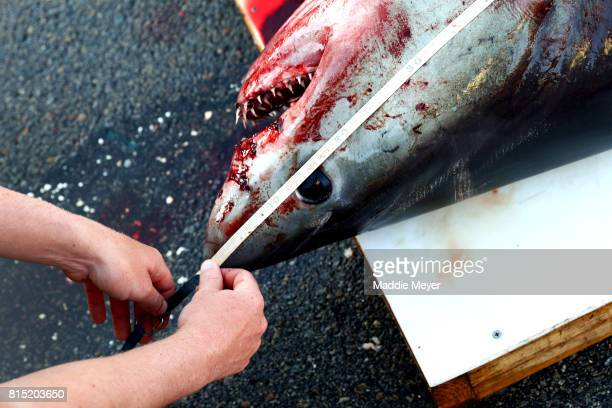 Marine biologists record measurements from a porbeagle shark caught during the North Atlantic Monster Shark Tournament at State Pier 3 on July 15...