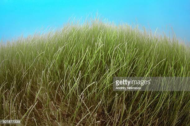 Marine Eelgrass -Zostera sp.-, Black Sea, Crimea, Russia