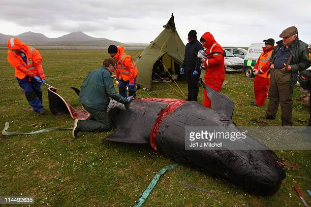 Marine experts perform an autopsy on a dead pilot whale from the pod of about 60 pilot whales that were spotted struggling in Loch Carnan on May 22...