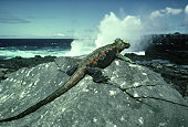 marine iguana: amblyrhynchus cristatus,  galapagos islands