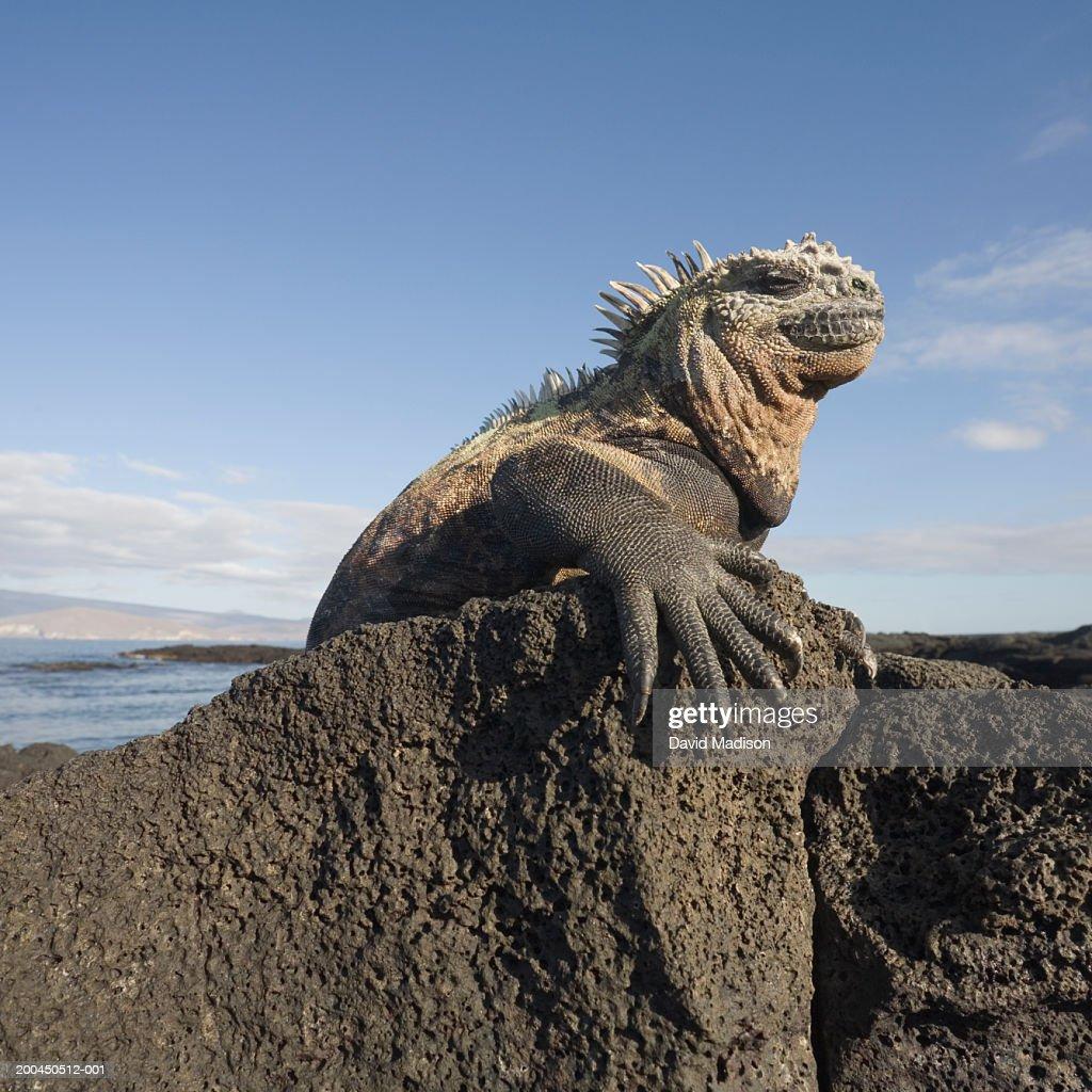 Marine iguana (Amblyrhynchus cristatus) atop rock, side view