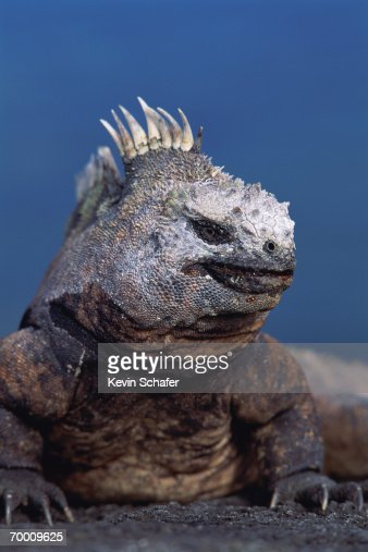 Marine iguana (Amblyrhynchus cristatus) Equador, close-up : Stock Photo