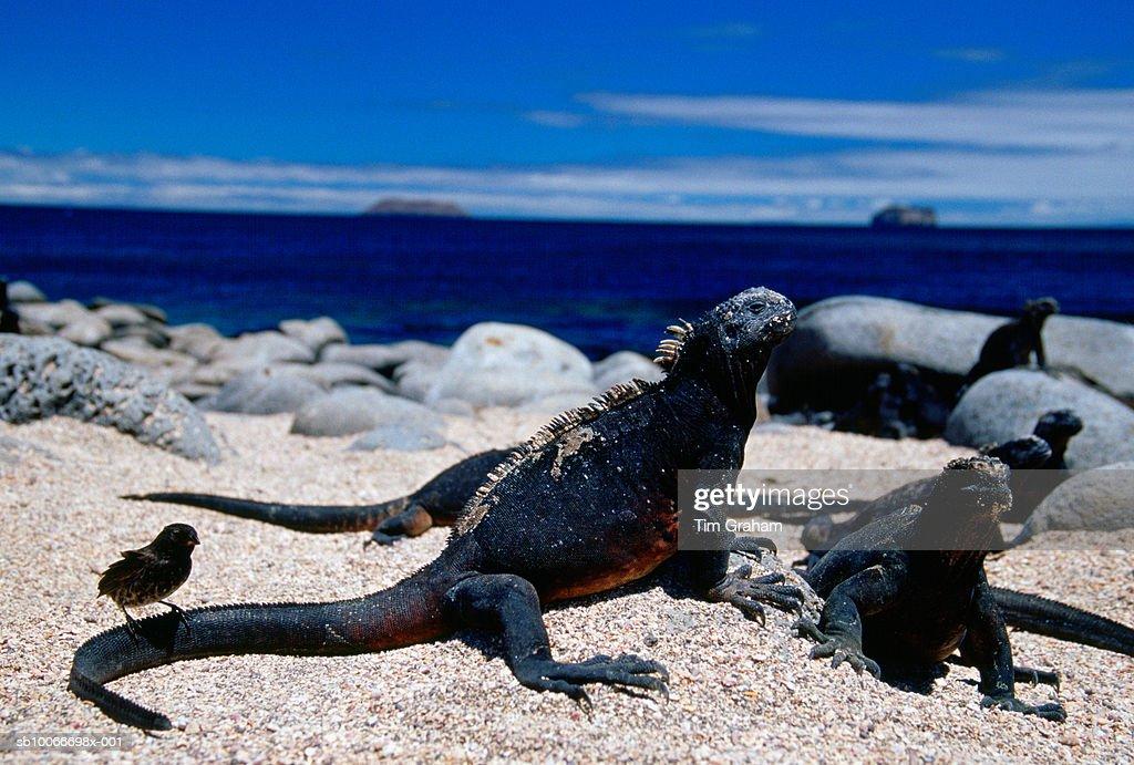 Marine Iguanas and Finch, Galapagos Isles