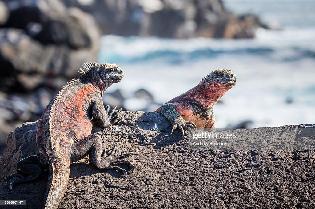 Marine Iguanas, Punta Suarez, Espanola Island.