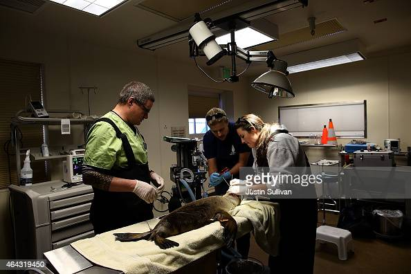 Marine Mammal Center veternarian tech intern Ben Calvert veterinarian Dr Claire Simeone and vet tech Lauren Campbell inspect the eye of a sick and...