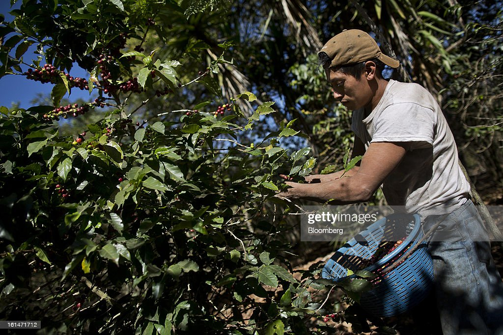 Mario Acajabon, 28, picks coffee beans on a small parcel damaged by the roya coffee fungus near Antigua, Guatemala, on Saturday, Feb. 9, 2013. The Guatemalan National Coffee Association said that rust disease, known as roya in Spanish, will destroy 15 percent of the 2012-2013 harvest and as much as 40 percent of next season's harvest. Photographer: Victor J. Blue/Bloomberg via Getty Images