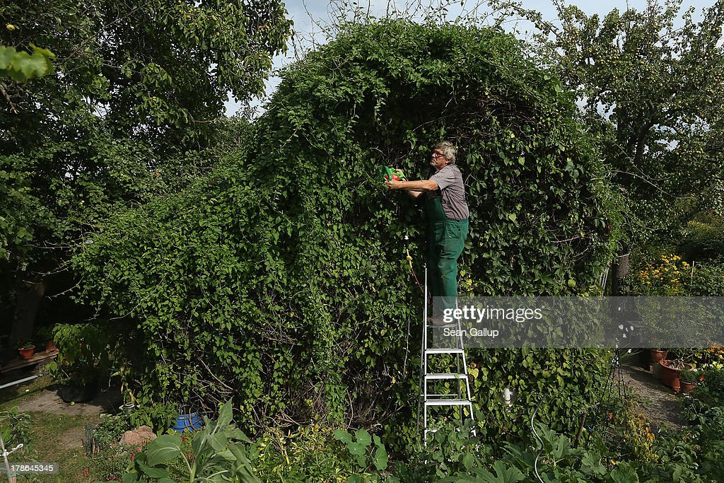 Mario trims ivy that completely covers the cottage in the garden he and his wife Monika have leased for the last 30 years in the Oeynhausen Small Garden Association garden colony on August 29, 2013 in Berlin, Germany. At the Oeynhausen colony about 300 of its 438 gardens are currently threatened by real estate development, as are about another 24 colonies across the city. Berlin has about 900 garden colonies that are owned by the city and that provide urban dwellers who don't have land of their own the opportunity to maintain a garden and escape the stress of urban life. Berlin is currently undergoing a housing squeeze and city authorities are beginning to sell some of the colonies to developers, which has caused outrage in a city where the colonies of small gardens are a deep-seated tradition going back over a century.