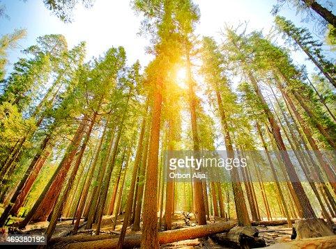 マリポサグローブの木、ヨセミテ国立公園