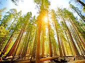 Mariposa Grove trees in Yosemite National Park