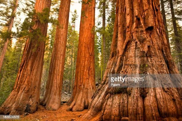 マリポサグローブの木
