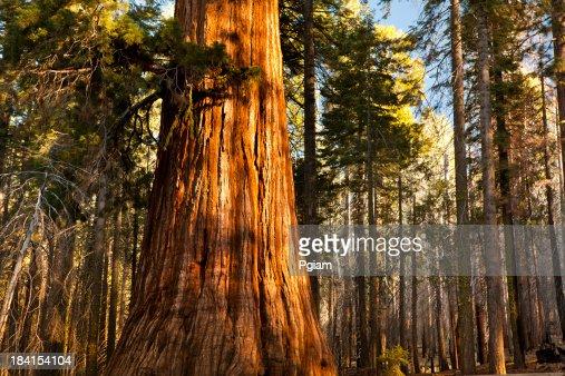 Mariposa Grove trees