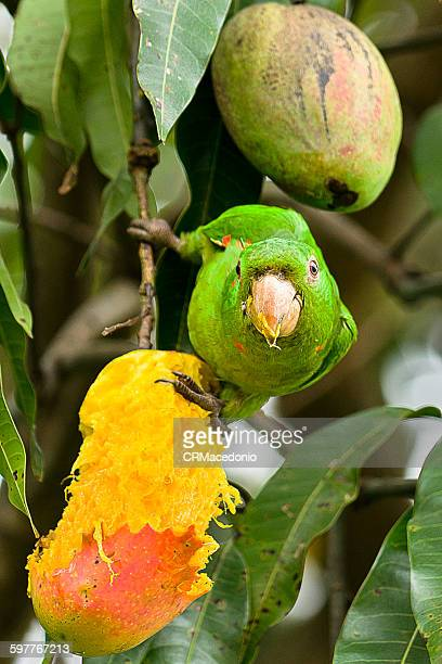 Maritaca eating mangoes