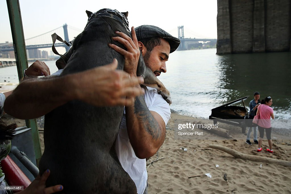 Mark Deliz carries his pit bull Bruno over a fence to take a picture of a piano underneath the Brooklyn Bridge on June 3, 2014 in New York City. A grand piano that has mysteriously landed on a sliver of beach under the iconic bridge last week has become an impromptu tourist attraction. While the Mason & Hamlin piano is badly damaged, dozens of people climb onto the beach daily to test out the keys.