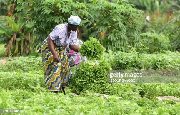 Market gardeners collect lettuce in a field near Abidjan on November 17 2017 SANOGO