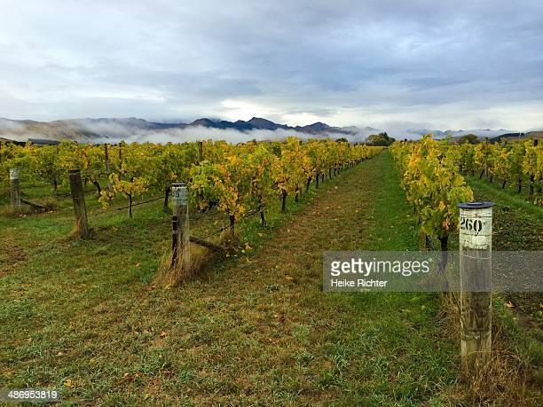 Marlborough Vineyard in Autumn