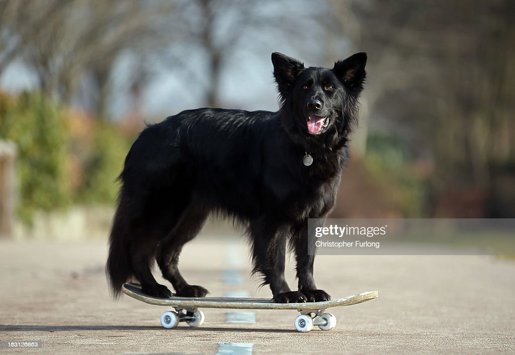Marley, a cross German Shepherd/Border Collie aged three, owned by Twelve-year-old Abbie Reynolds-Dobson, poses on a skateboard as he practices his heel to music routine during a photocall to launch Crufts 2013 on March 5, 2013 in Birmingham, England. During this year's four-day competition over 22,000 dogs and their owners will vie for a variety of accolades but ultimately seeking the coveted 'Best In Show'.
