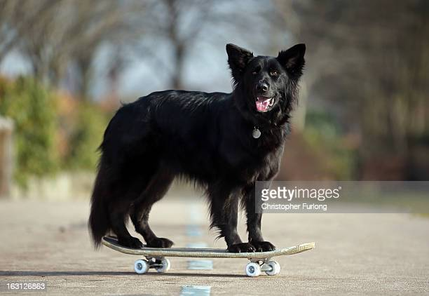 Marley a cross German Shepherd/Border Collie aged three owned by Twelveyearold Abbie ReynoldsDobson poses on a skateboard as he practices his heel to...