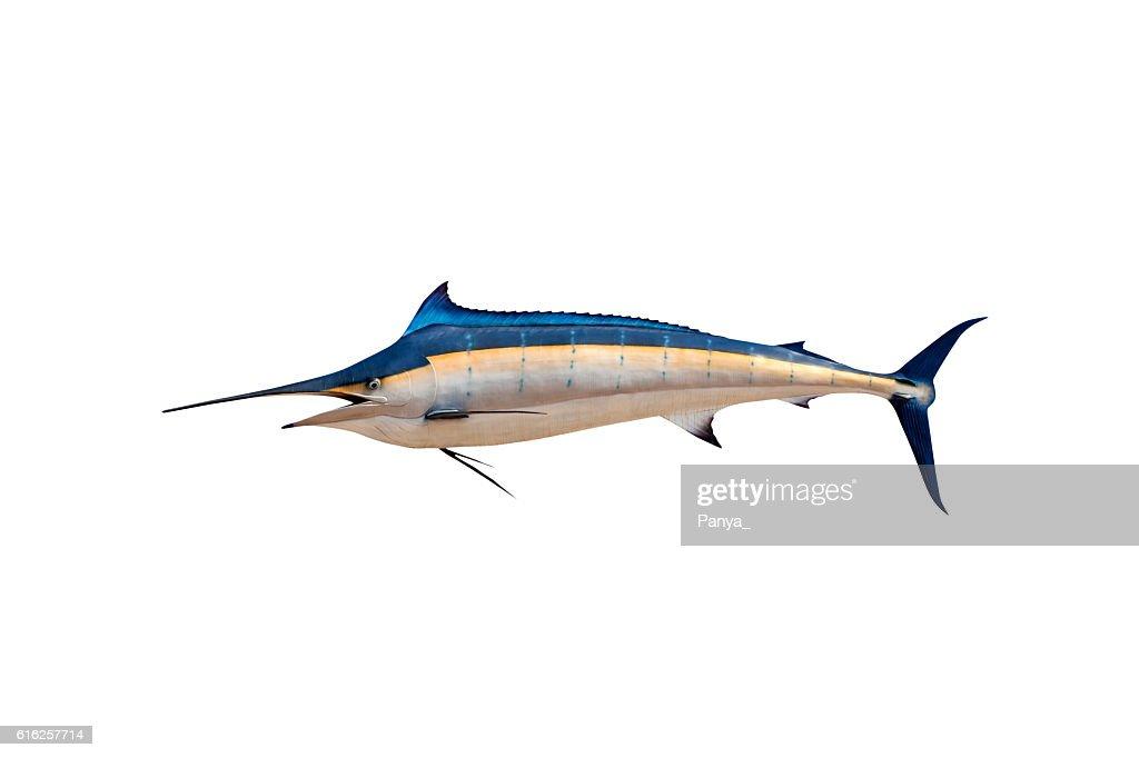 Marlin - Swordfish,Sailfish saltwater fish (Istiophorus) : Stock Photo