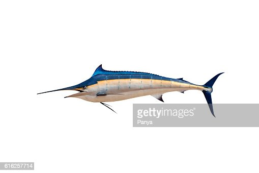 Marlin - Swordfish,Sailfish saltwater fish (Istiophorus) : Stock Photo