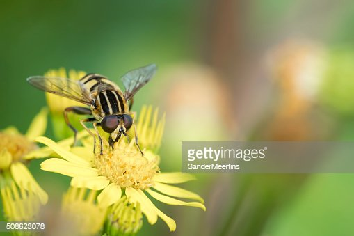 Marmalade hoverfly : Stock Photo