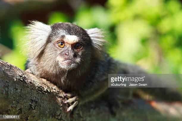 Marmoset on tree trunk
