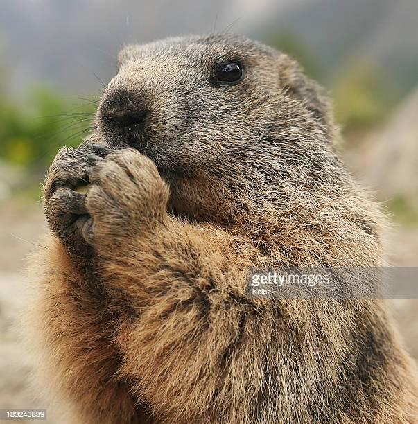 Marmotte à manger