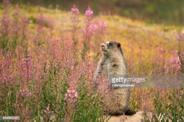 Marmot fireweed Tonquin Valley Jasper National Park Alberta Canada
