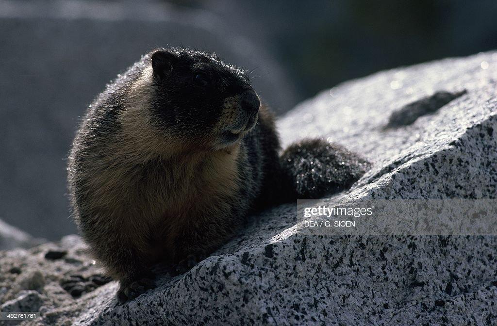 Marmot (Marmota sp), Sciuridae, California, United States of America.