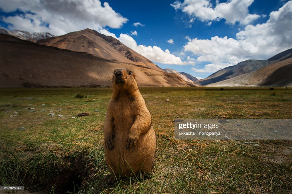 Marmots at Pangong lake : Stock Photo