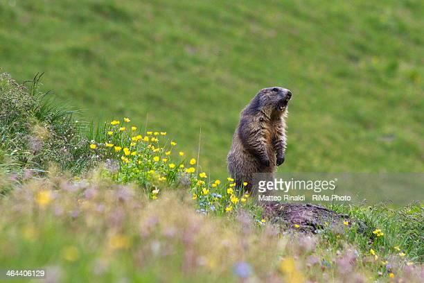 Marmotta Sentinella