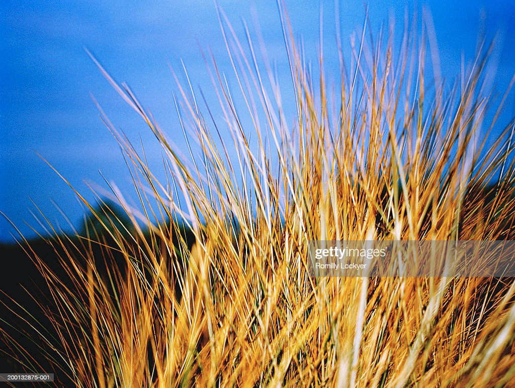 Marram grass (Ammophila arenaria) at dusk, close-up