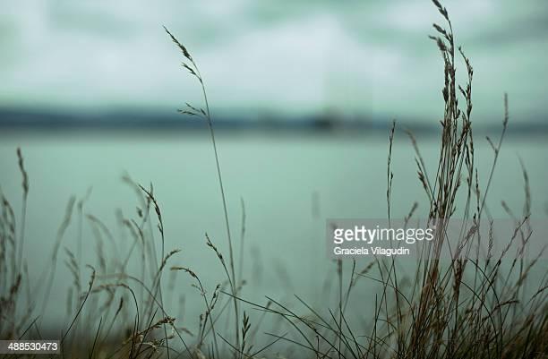 Marram Grass close to the sea