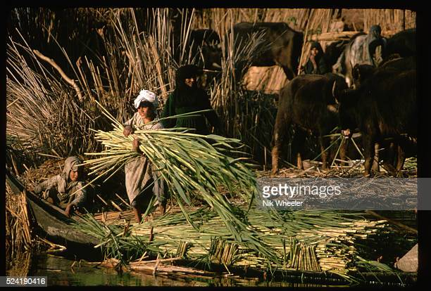 A Marsh Arab boy loads an armful of reeds into a canoe in the Marshes of Iraq   Location The Marshes near Nasiriya Iraq