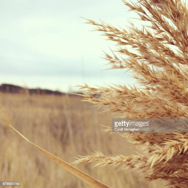 Marsh Grass and the Chesapeake Bay