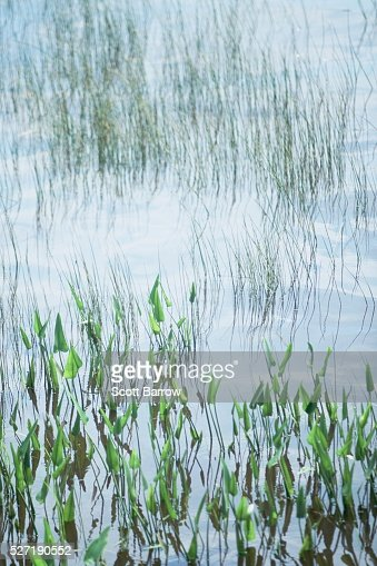 Marsh grass : Stock Photo