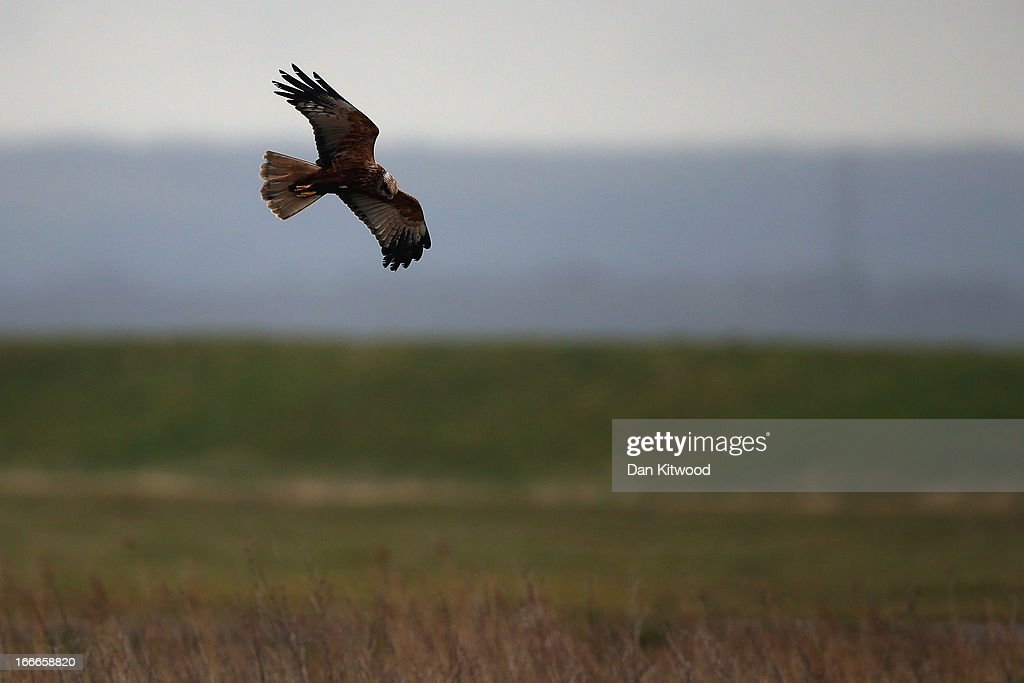 A Marsh Harrier hunts over Elmley Marshes on April 12, 2013 in Sheerness, England. The RSPB's Elmley Marshes lies on the Isle of Sheppy, and is managed by the Elmley Conservation Trust. The three and a half acre reserve has the highest density of breeding waders in southern England including Avocet and Redshank. The area is also known to be one of the best sites in the UK to view birds of prey which include Peregrine Falcon, Marsh and Hen Harriers, Rough Legged Buzzards and Short Eared Owl.