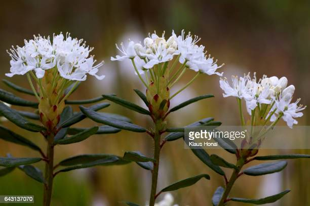 Marsh Labrador Tea (Rhododendron tomentosum, Ledum palustre) in full of bloom - Germany