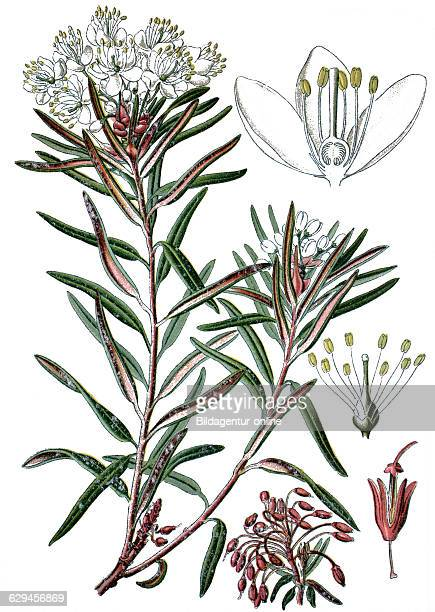 Marsh labrador tea northern labrador tea or wild rosemary ledum palustre