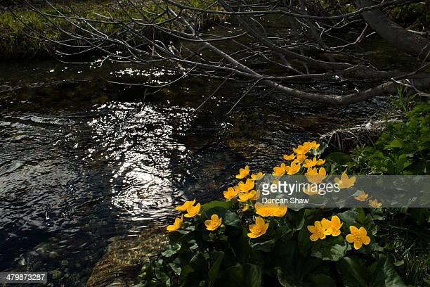 Marsh Marigolds by alpine stream