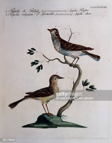 Marsh Meadow Pipit and Pipit known as Water Pipit colour etching by Lorenzo Lorenzi and Violante Vanni from Natural History of Birds by Saverio...