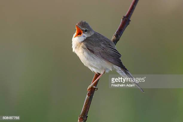 Marsh Warbler -Acrocephalus palustris- singing, perched on a branch, Dummer Nature Park, Lower Saxony, Germany