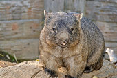 a wombat sitting on a tree log in zoo