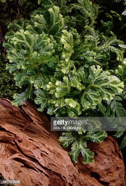 Martens's Spike Moss Selaginellaceae