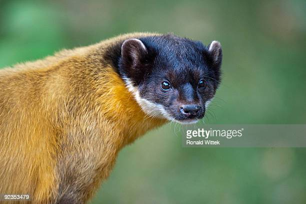 Martes flavigula, Yellow-throated marten