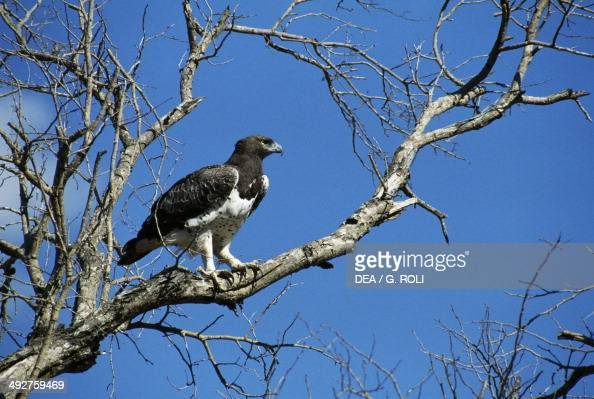Martial eagle Accipitridae Kruger National Park South Africa