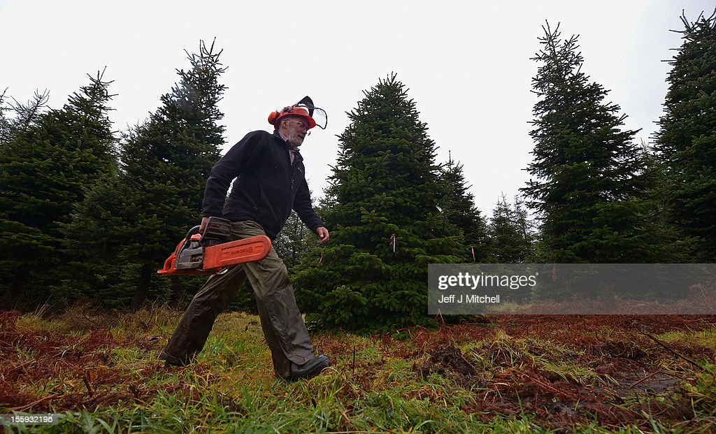 Martin MacKenzie, walks past the Christmas Tree to be supplied to Downing Street at Garrocher Tree Farm on November 10, 2012 in Creetown, Scotland. The tree grower, won the coveted title of Champion Christmas Tree Grower 2012 at the 14th Annual British Christmas Tree Growers' Association and will now deliver a sixteen foot six inch tree to take up residence outside 10 Downing Street.