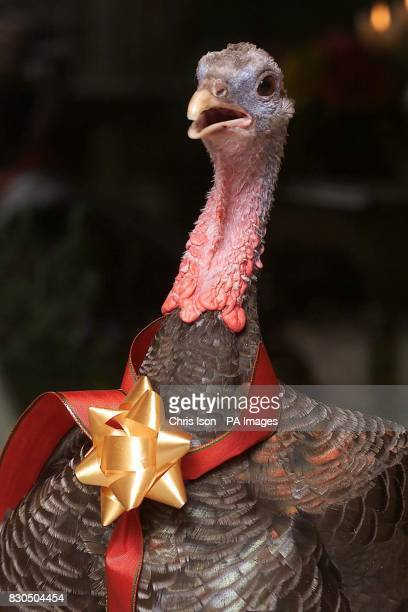 Martina the turkey gets in the festive mood as she pepares for an unprecedented fourth Christmas with her owners Bridget and Michael Hickey at their...