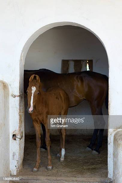 Marwar horses in stables at Rohet Garh fortress palace heritage hotel in Rohet in Rajasthan Northern India